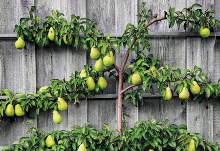 Birnbaum vor Bretterwand